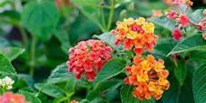 fiori per terrazzi al sole piccole piante da fiore resistenti al caldo cose di casa