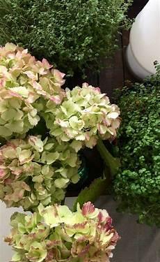 Blumen Hortensien Mit Glycerin Konservieren Mokowo