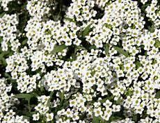 Pflanzen Gegen Schnecken Wirkungsweise Des Steinkrauts