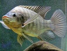 Peluang Usaha Budidaya Ikan Mujair Dan Analisa Usahanya