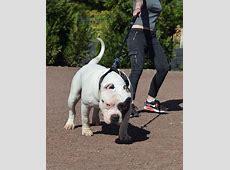 HAVOK Chiot puppy puppies American bully Giant XL XXL
