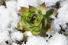 sukkulenten garten winterhart sukkulenten 187 eine auswahl winterharte arten f 252 r den garten
