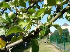 apfelbaum hat braune blätter apfelbaum verkrumpelte bl 228 tter und flecken