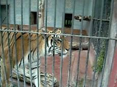 animali in gabbia tigre in gabbia