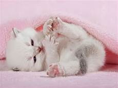pink kitten wallpaper cat images cats animals background wallpapers on