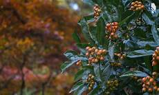 arbuste 224 baies rouges pour apporter une touche de couleur