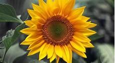 Koleksi Gambar Bunga Matahari Yang Cantik