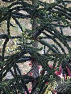 araucaria araucana from burncoose nurseries
