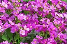 arabis caucasica g 228 nsekresse schaumkresse rosa