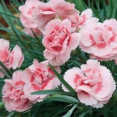 fiore flowers dianthus doris plants thompson