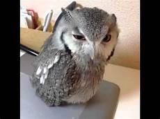 owl vine