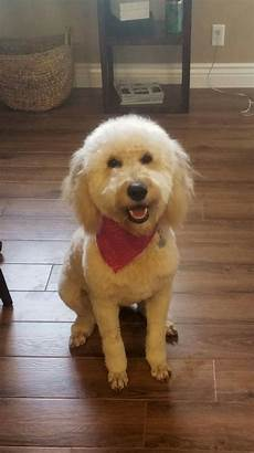 goldendoodle haircut my favorite dog doodle and goldendoodle haircut girl poodle toes doodle dog goldendoodle dogs