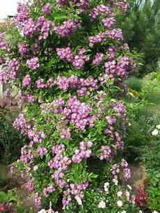 rosier liane sans epine rosier liane veilchenblau rosa x liane rosier liane