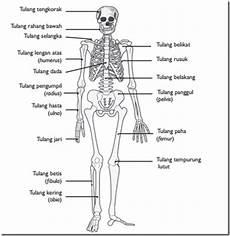Rangka Manusia Dan Jenis Tulang Manusia Beserta Bentuk