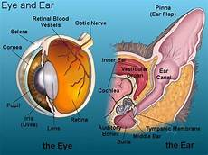 19 Best Ear Anatomy Images On Ear Anatomy