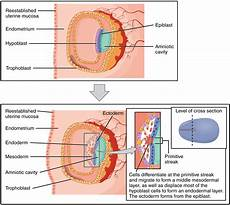 during embryonic development cells specialize to form embryonic development voer