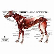 Dog Muscle Chart Petmassage Chart 5 Superficial Muscles Of The Dog