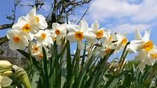 jonquilles et narcisses daffodils jonquilles s maze