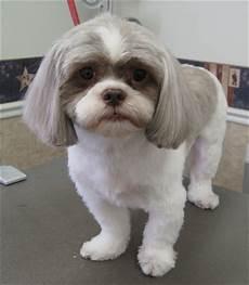 shih tzu short haircut dog haircuts cute small dogs shih tzu dog