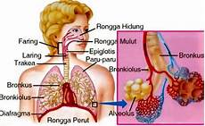 Sistem Pernafasan Pada Manusia Pengertian Jenis Dan