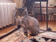 these 16 cats are not impressed with their new haircuts 171 paw my gosh