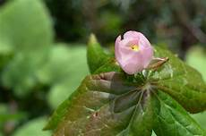 fleur exotique 56106 podophyllum planter et cultiver ooreka