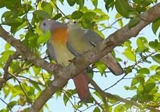 Burung Punai Or Green Wood Pigeon
