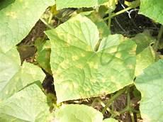 Gurke Gelbe Blätter - gelbe bl 228 tter gurken ursachen und regelverfahren