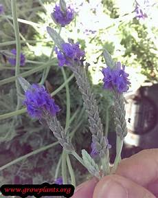Lavender Plant How To Grow Care