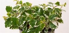 Weihrauch Pflanze Plectranthus Coleoides G 252 Nstig