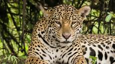 this rare footage of jaguar cubs is inspiring hope for brazil s endangered cat science aaas