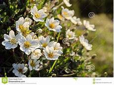 fiori da davanzale dryas blanc fleurs de montagne image stock image du