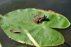Ausmalbild Frosch Auf Seerosenblatt Forsche Fr 246 Sche Bilder