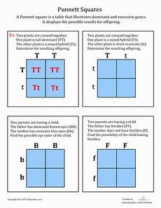 punnett squares worksheet education com
