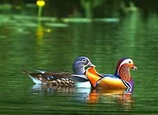 Gambar Bebek Berenang Terbaru Gambarcoloring