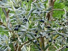 olivenbaum schneiden wann gl02 casaramonaacademy
