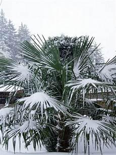 Chinesische Hanfpalme Pflege Im Winter Palmen Winterhart