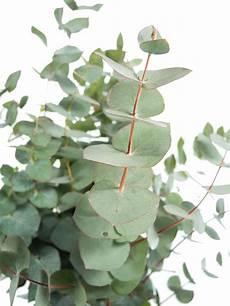 eukalyptus winterhart kaufen eukalyptus cinerea silber gr 252 n gr 252 n blumen juni