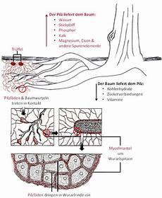 dem pilz keine chance schimmelbekaempfung im was sind tr 252 ffelb 228 ume tr 252 ffelbaumschule