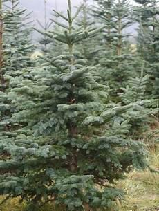 b 228 ume weihnachtsbaum bonn de ihr weihnachtsbaum