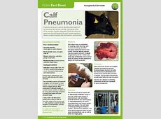 treating a calf with pneumonia