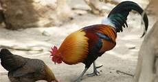 Santaid Rimba Nak Tangkap Ayam Hutan Dan Burung Sintar