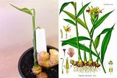 Ingwer Anbauen So Ziehen Sie Ingwerpflanzen Selber