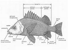 Ardan Samman Ekobiologi Ikan Kakap Ikan Kakap Lutjanidae