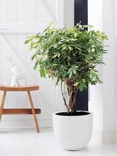 le schefflera plante interieur plante verte et grandes
