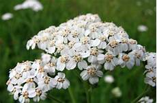Schafgarbe Achillea Millefolium