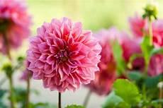 50 Jenis Bunga Tercantik Di Dunia Terlengkap Gambar