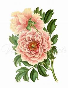 peony clipart peony clipart vintage graphic pink peony digital image