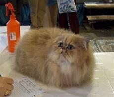 prezzi gatti persiani immagini di gatti persiani wr39 187 regardsdefemmes