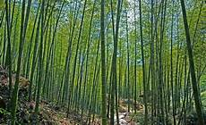 Are Bamboos Invasive Hansfriederich